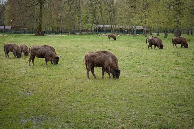 Żubry w Białowieskim Parku Narodowym