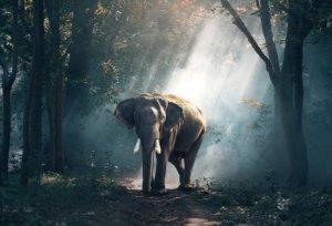 Słoń indyjski w Khao Yai (Tajlandia)