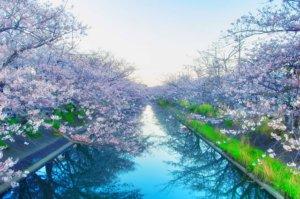 Typowa Japońska aleja w czasie kwitnienia wiśni