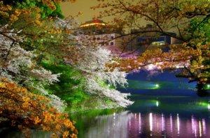 Japonia nocą w czasie kwitnienia wiśni