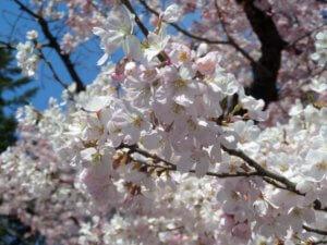 Kwiaty wiśni w tokijskim parku