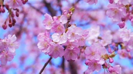 Kwitnąca wiśnia - Japonia