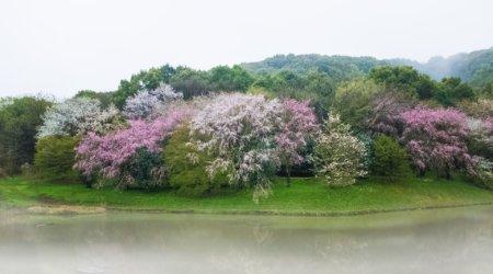 Kwitnienie wiśni w Japonii
