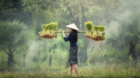 Laos - plantacja trawy