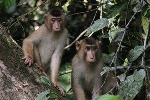 Małpy na Borneo (Malezja)