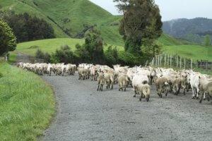 Wypas owiec w Nowej Zelandii