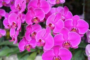 Malezyjskie orchidee