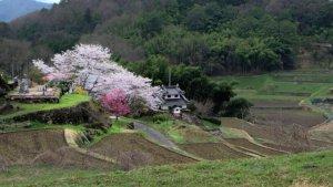 Wiśnie - symbol Japonii
