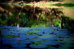 Wycieczka do Kambodży - Kwiat Lotosu